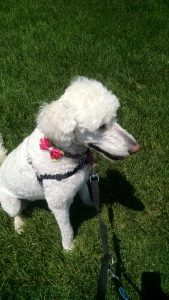 """Fluency in Training: Does your dog know """"sit""""?"""
