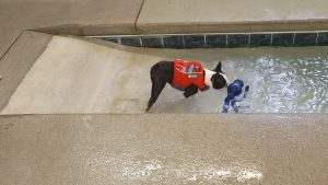 boston terrier swimming for toy